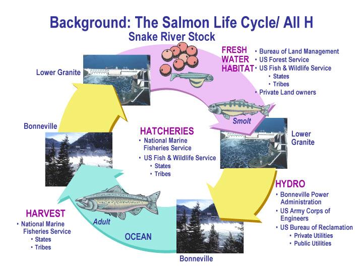 Salmon life cycleSalmon Life Cycle Map